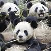 Les Pandas Goulus